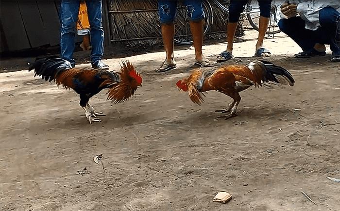 Đá gà Campuchia - Đá gà thomo - Giải đá gà uy tín nhất thế giới