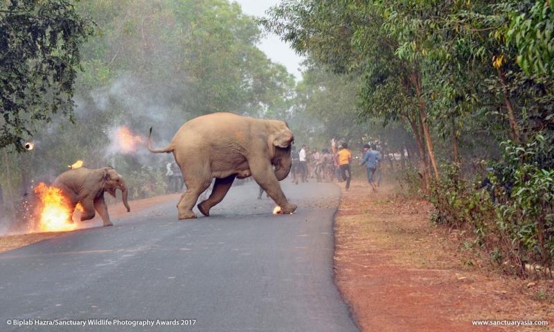 Ảnh chú voi con và mẹ đang chạy khỏi đám cháy thắng giải trong cuộc thi ảnh động vật hoang dã
