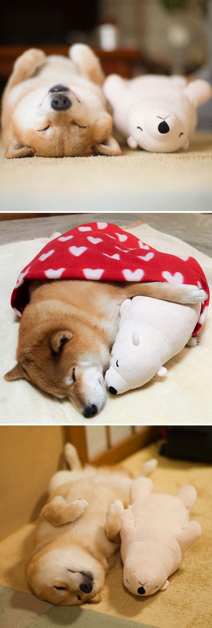 30 hình ảnh chứng minh giống chó Shiba Inu là 'thánh biểu cảm của năm