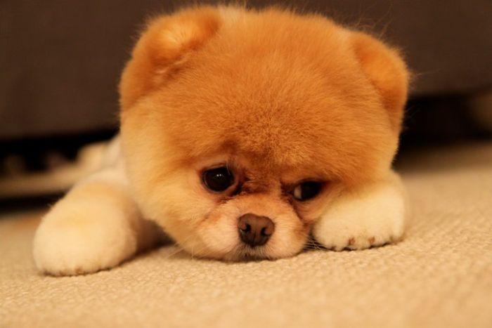 Cách chữa bệnh Care ở chó bằng lá ổi - Còn nước còn tát dù hy vọng sống mong manh.