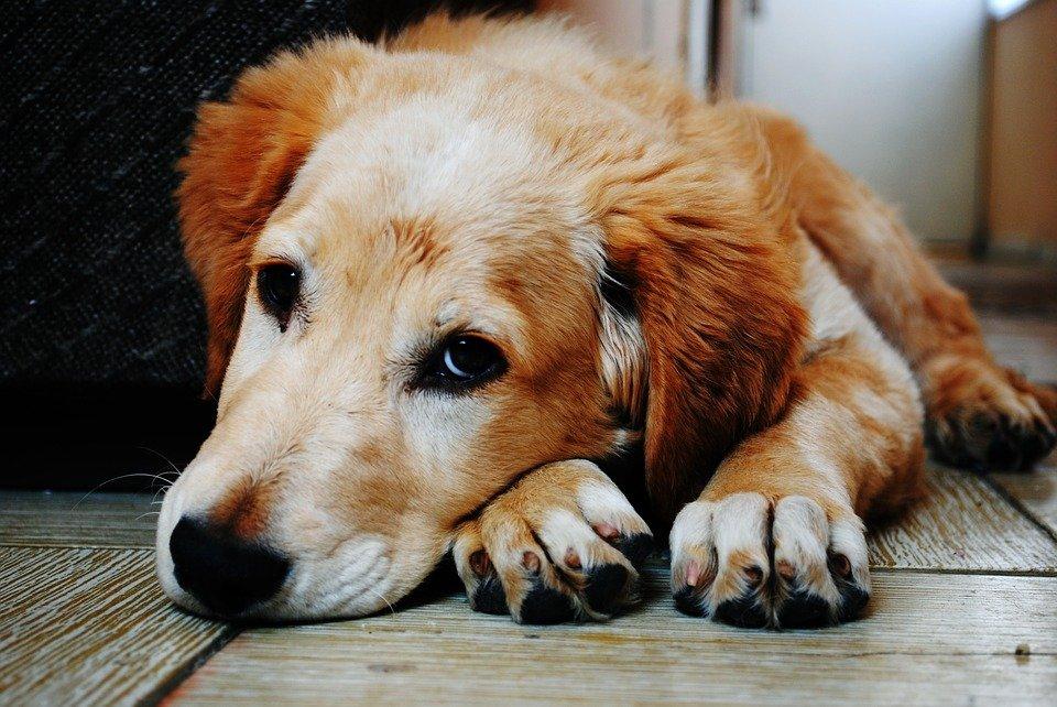 Trị ve chó thế nào để chúng không dám quay lại