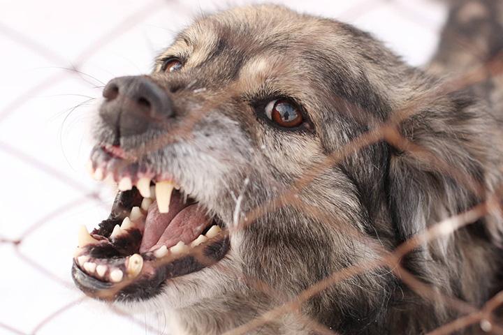 Chó đã bị dại có thể cứu chữa được không?