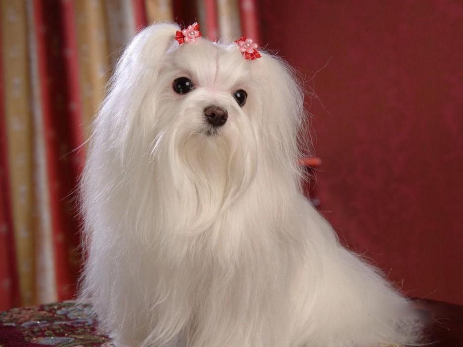 Làm thế nào để kích thích mọc lông chó nhanh và đẹp hơn
