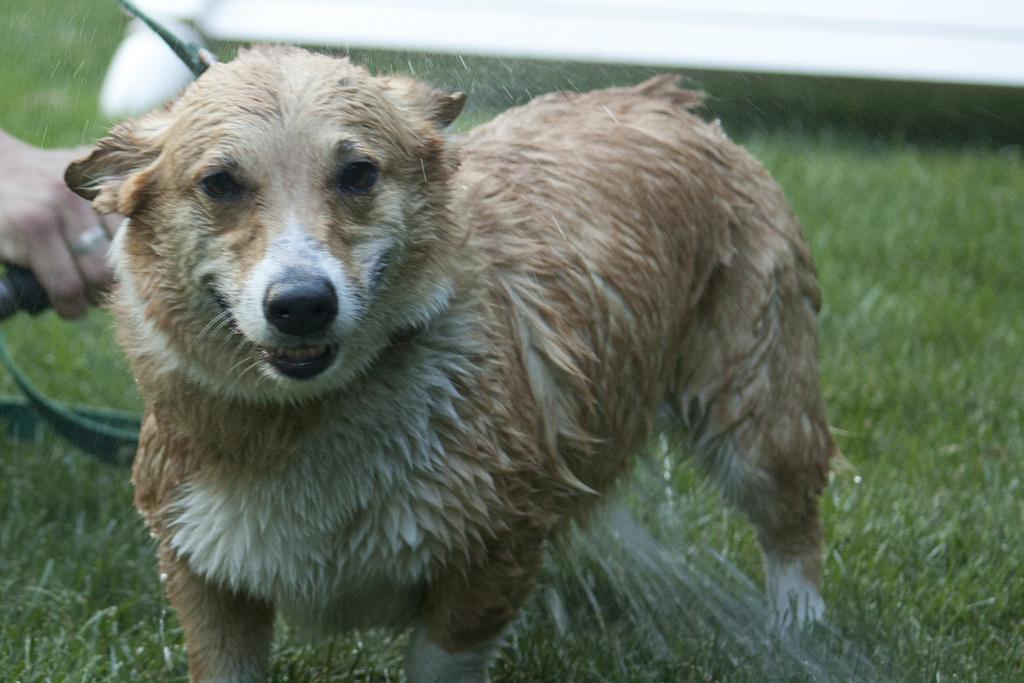 Khi nào nên tắm cho chó Corgi ?
