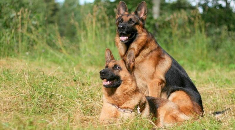 Chế độ ăn cho chó Becgie đủ chất chuẩn khuyến cáo