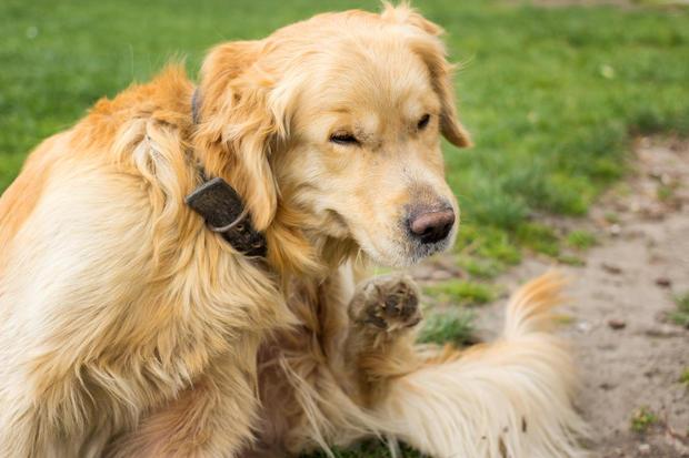Bệnh Lyme ở chó bạn đã biết chưa?