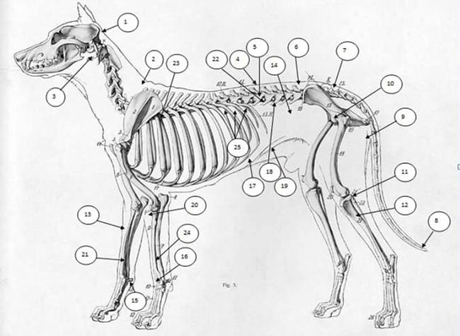 Hướng dẫn bấm huyệt cho chó và nhận diện từng huyệt châm cứu