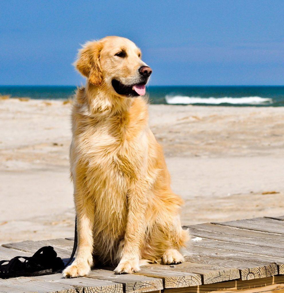 Cách nhận biết chó Golden Retriever thuần chủng
