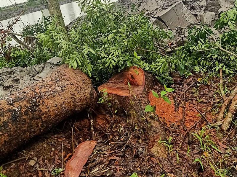 Pháp lý vụ xử phạt 'siêu tốc' người chặt cây xà cừ