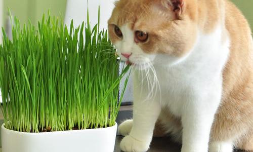 Cách trồng cỏ mèo siêu đơn giản ngay tại nhà