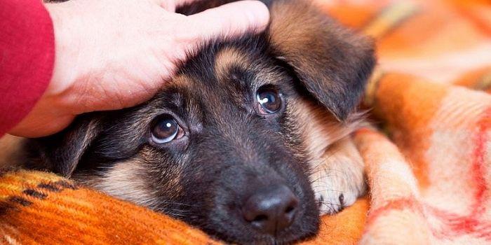 Vỗ đầu chó để làm quen: nguy hiểm khôn lường từ hành động tưởng như vô hại